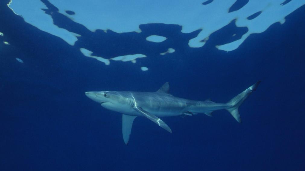 Tubarão Azul CIBIO e MBA