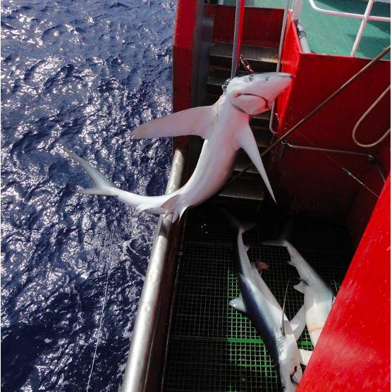 Tubarões Azuis Investigação Desoxigenação